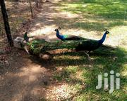 Mature Peacock Male | Birds for sale in Mombasa, Mtongwe