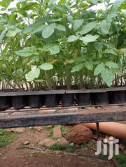 Zara F1 Tomato Seedlings | Feeds, Supplements & Seeds for sale in Kiambu, Juja