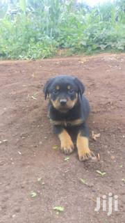 High Drive Pure Rottweiler Puppies | Dogs & Puppies for sale in Nairobi, Kitisuru