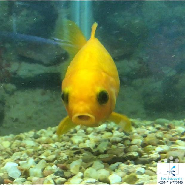 Archive: Cute Yellow Comet Ornamental Fish