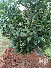 Grafted Macadamia Seedlings | Feeds, Supplements & Seeds for sale in Embu, Mbeti North