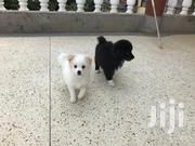 Young Male Purebred Japanese Spitz | Dogs & Puppies for sale in Nairobi, Roysambu