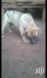 Pure SA Boer Boel Puppies | Dogs & Puppies for sale in Nairobi, Kitisuru