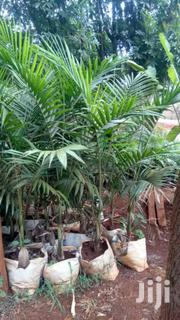 Palm Tree | Feeds, Supplements & Seeds for sale in Murang'a, Kamahuha