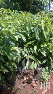 Hass Ovacado | Feeds, Supplements & Seeds for sale in Murang'a, Kamahuha