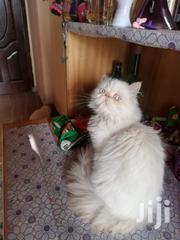 Senior Male Purebred Persian | Cats & Kittens for sale in Nairobi, Nairobi Central