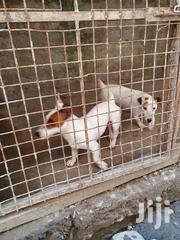 Baby Male Purebred Jack Russell Terrier | Dogs & Puppies for sale in Nairobi, Eastleigh North