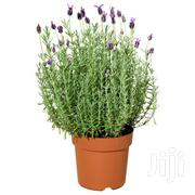 Mosquito Repelling Lavender(With Saucer) | Home Accessories for sale in Nairobi, Kawangware