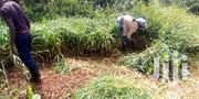 Bracharia Grass | Feeds, Supplements & Seeds for sale in Nyeri, Iriaini