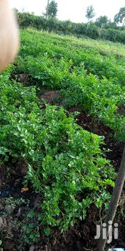 Parsley | Meals & Drinks for sale in Nyandarua, Magumu