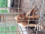 Young Male Purebred Boerboel | Dogs & Puppies for sale in Nairobi, Kileleshwa