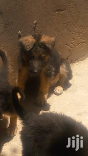 Young Female Purebred German Shepherd Dog | Dogs & Puppies for sale in Kiambu, Witeithie