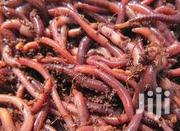 Red Worms Best Worm For Composting   Other Animals for sale in Nairobi, Embakasi