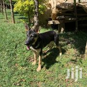 Young Female Purebred German Shepherd Dog | Dogs & Puppies for sale in Migori, Suna Central