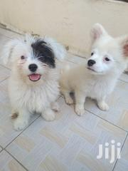 Baby Male Mixed Breed Maltese Shih Tzu | Dogs & Puppies for sale in Nairobi, Kasarani