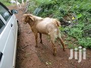 Goat Latest Breed | Livestock & Poultry for sale in Meru, Igoji East