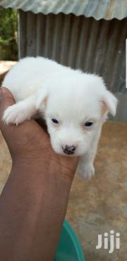 Baby Male Purebred Japanese Spitz   Dogs & Puppies for sale in Mombasa, Tudor
