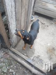 Adult Female Mixed Breed Rottweiler | Dogs & Puppies for sale in Kiambu, Thika