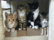 Young Female Mixed Breed American Shorthair   Cats & Kittens for sale in Nairobi, Kahawa