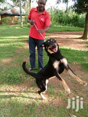 Adult Male Mixed Breed Rottweiler   Dogs & Puppies for sale in Kisumu, West Kisumu