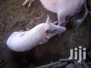 Pure Local Breed Pig | Livestock & Poultry for sale in Kisumu, Central Seme