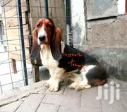 Adult Female Purebred Basset Hound | Dogs & Puppies for sale in Nakuru, Bahati