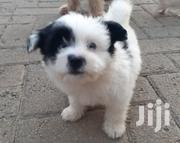 Young Male Mixed Breed Pomeranian | Dogs & Puppies for sale in Mombasa, Bamburi