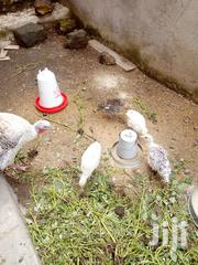 Turkey Chicks | Birds for sale in Nakuru, Mbaruk/Eburu