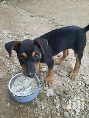 Baby Female Purebred Rottweiler | Dogs & Puppies for sale in Mombasa, Likoni
