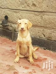 Baby Male Purebred Labrador Retriever | Dogs & Puppies for sale in Nairobi, Komarock