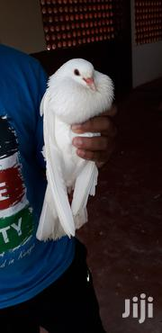 White Pigeons | Birds for sale in Kajiado, Ongata Rongai