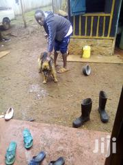 Adult Female Purebred German Shepherd Dog | Dogs & Puppies for sale in Nyeri, Karatina Town