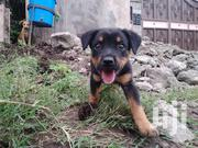Baby Male Purebred Rottweiler | Dogs & Puppies for sale in Kajiado, Kitengela