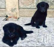 Baby Female Mixed Breed Labrador Retriever | Dogs & Puppies for sale in Nairobi, Embakasi