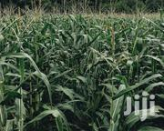 Fresh Maize | Feeds, Supplements & Seeds for sale in Kiambu, Limuru East