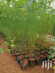 Casuarina Trees | Landscaping & Gardening Services for sale in Nairobi, Kahawa West