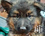 Young Female Purebred German Shepherd | Dogs & Puppies for sale in Machakos, Machakos Central