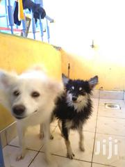 Senior Female Purebred Japanese Spitz | Dogs & Puppies for sale in Nairobi, Kasarani
