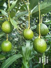 Hass Avocado Export | Meals & Drinks for sale in Murang'a, Kinyona