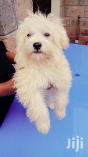 Baby Female Purebred Havanese | Dogs & Puppies for sale in Machakos, Athi River