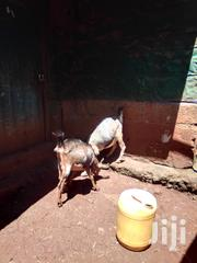 Goats For Sale | Livestock & Poultry for sale in Murang'a, Wangu