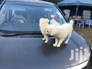 Baby Female Purebred Japanese Spitz | Dogs & Puppies for sale in Kajiado, Ngong