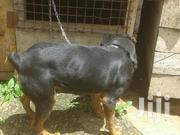 Young Male Purebred Rottweiler | Dogs & Puppies for sale in Kiambu, Kabete