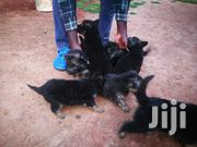 Young Female Purebred German Shepherd | Dogs & Puppies for sale in Machakos, Syokimau/Mulolongo