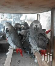 Kasuku For Sell | Birds for sale in Mombasa, Mji Wa Kale/Makadara