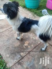 Adult Male Mixed Breed Japanese Spitz | Dogs & Puppies for sale in Nairobi, Nairobi South