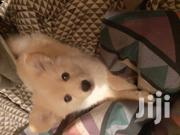 Young Female Mixed Breed Japanese Spitz | Dogs & Puppies for sale in Nairobi, Roysambu