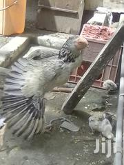 Female Mature Kuchi | Birds for sale in Mombasa, Tudor