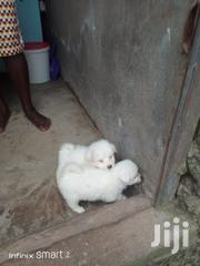 Young Male Purebred Japanese Spitz | Dogs & Puppies for sale in Nairobi, Mihango