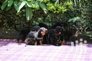 Baby Male Purebred Rottweiler | Dogs & Puppies for sale in Nairobi, Kitisuru
